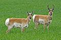Antilocapra americana pair (crop).jpg