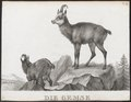 Antilope rupicapra - 1700-1880 - Print - Iconographia Zoologica - Special Collections University of Amsterdam - UBA01 IZ21400207.tif