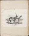 Antilope saïga - 1872 - Print - Iconographia Zoologica - Special Collections University of Amsterdam - UBA01 IZ21400239.tif