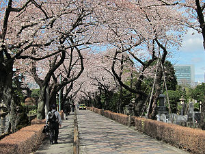 Aoyama Cemetery - Cherry trees of Aoyama Cemetery