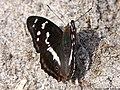 Apatura iris 01.JPG