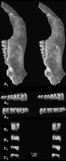 <i>Apeomyoides</i> genus of mammals