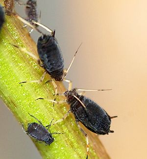 Black bean aphid - Two wingless adults and a nymph