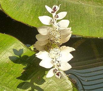 Aponogeton - A. distachyos, foliage and  inflorescence at water surface