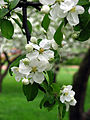 Apple blossom (Malus domestica) 07.JPG