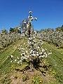 Apple tree in Sweden.jpg