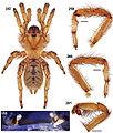 Aptostichus edwardabbeyi anatomy.jpg