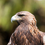 Aquila chrysaetos -San Francisco Zoo, California, USA -head-8a.jpg