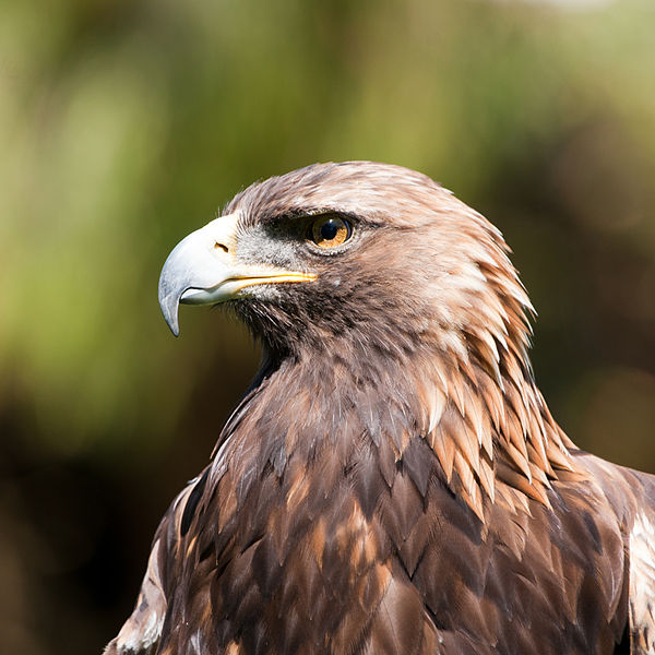 File:Aquila chrysaetos -San Francisco Zoo, California, USA -head-8a.jpg