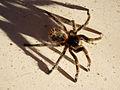 Araña Pollito - Flickr - rgamper.jpg