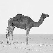 Arabian Camel Dubai Al Qudra Desert (141290541).jpeg