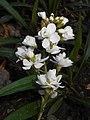 Arabis caucasica Flore Pleno 2016-04-22 8626.jpg