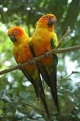 Aratinga solstitialis -captive-two-8a.jpg