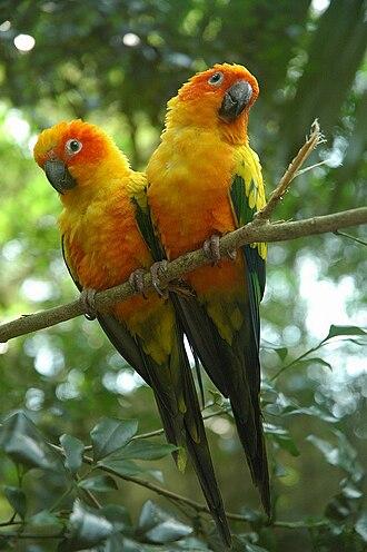 Sun parakeet - Image: Aratinga solstitialis captive two 8a