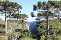 Araucárias sobre o Canyon do Itaimbézinho no Parque Nacional dos Aparados da Serra em Camabará do Sul - RS.JPG