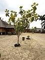 Arbre à pain ou arbre de bèlèfoutou en langue locale au Bénin.jpg
