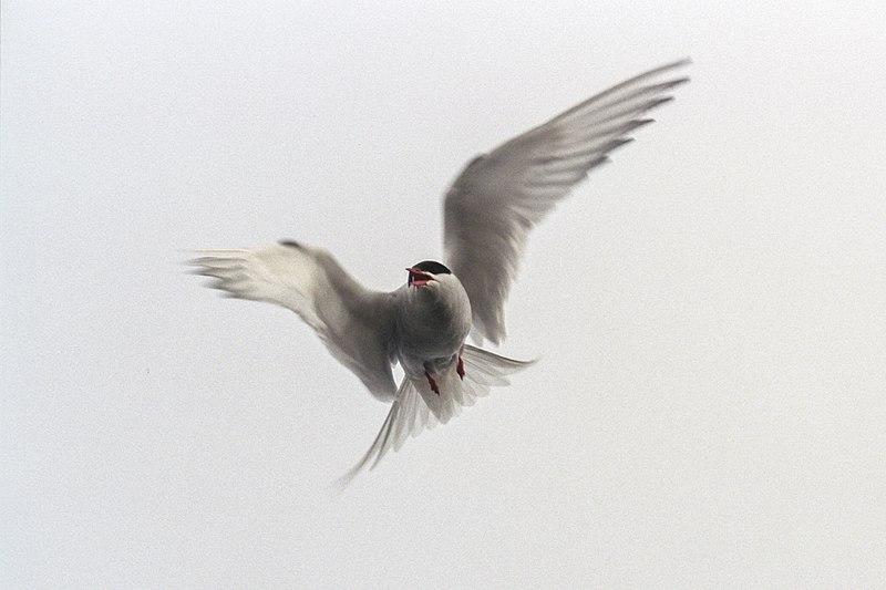 File:Arctic tern (js) 23.jpg