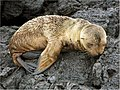 Arctocephalus galapagoensis 0zz.jpg