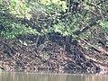 Ardea purpurea - Zlatno jezero, NP Đerdap1.jpg
