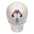 Areas of Lateral ventricle - 03.png