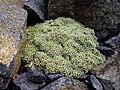 Arenaria alfacarensis 1.jpg