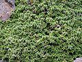 Arenaria tetraquetra 2.JPG