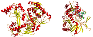 Left: A full-length argonaute protein from the archaea species Pyrococcus furiosus. Right: The PIWI domain of an argonaute protein in complex with double-stranded RNA. The base-stacking interaction between the 5' base on the guide strand and a conserved tyrosine residue (light blue) is highlighted; the stabilizing divalent cation (magnesium) is shown as a gray sphere.