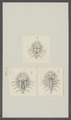 Argulus foliaceus - - Print - Iconographia Zoologica - Special Collections University of Amsterdam - UBAINV0274 100 03 0008.tif