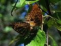 Argynnis paphia (in copula) - Silver-washed fritillary (mating) - Большая лесная перламутровка (спаривание) (30622397168).jpg