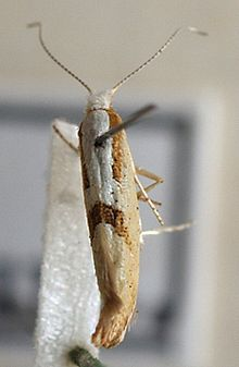Argyresthia.semitestacella.mounted.jpg