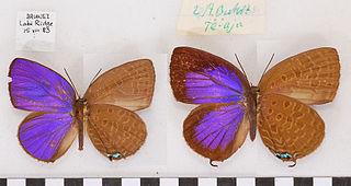 <i>Arhopala atosia</i> species of insect