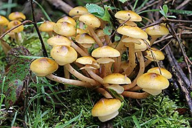 Armillaria mellea - honey fungus UK.jpg
