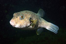 White spotted puffer wikipedia for Puffer fish diet