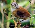 Ashy-headed Babbler (Malacocincla cinereiceps) (cropped).jpg