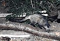 Asian or Common Palm Civet Paradoxurus hermaphroditus Chambal by Dr. Raju Kasambe (3).JPG
