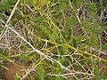 Asparagus umbellatus (La Fajana) 05 ies.jpg