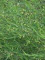 Asperge in bloei Asparagus officinalis.jpg