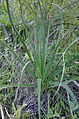 Asphodelus ramosus 1304.jpg