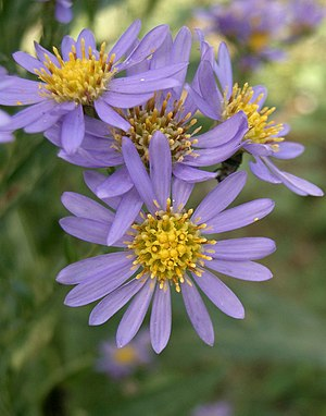Aster Tataricus Wikibooks Open Books For An Open World