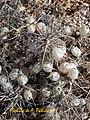 Astragalus atropilosulus (Astragalus armatus).jpg