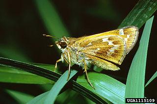 <i>Atalopedes campestris</i> Species of butterfly