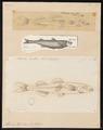 Atherina hepsetus - 1700-1880 - Print - Iconographia Zoologica - Special Collections University of Amsterdam - UBA01 IZ13800023.tif