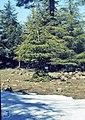 Atlas cedar bases sheep trimmed. near Timhadite (37085642723).jpg