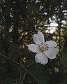 Atlas roslin pl Róża wielokwiatowa 7699 7790.jpg