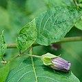 Atropa belladonna in Slovenia - DSC 9182.jpg