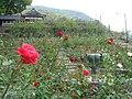 Atsumi-spa-rose garden.JPG