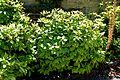 Aucuba japonica in Jardin des plantes de Montpellier 03.jpg