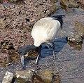 Australian White Ibis. Threskiornis molucca. - Flickr - gailhampshire.jpg