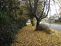 Autumn Leaves in Olinda, Victoria, Australia (2).JPG