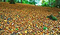 Autumn leaves, Hillsborough forest - geograph.org.uk - 1019393.jpg